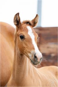 Photo cheval a vendre NEPAL DE LA GESSE